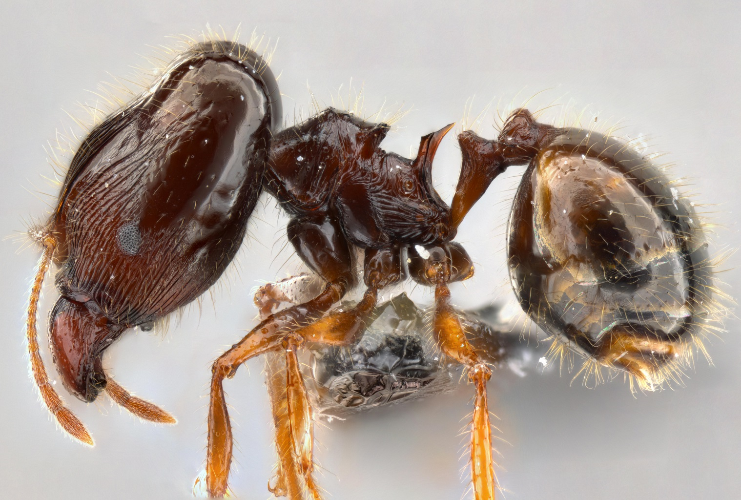 Pheidole colaensis major