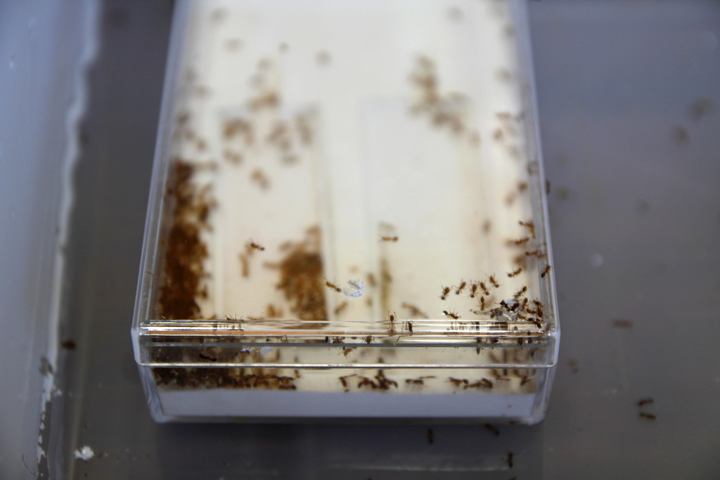 Live ants in a box. Photo: OIST.